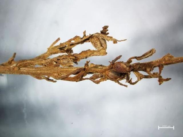 吐鲁番墓葬中发现2700年前的789克整株大麻,保存良好,还可以抽