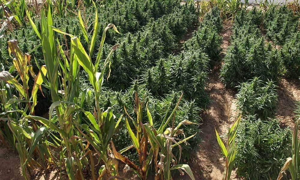 户外大麻种植入门指南