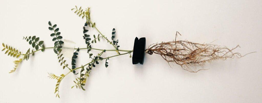 鹰嘴豆植物的根腐病