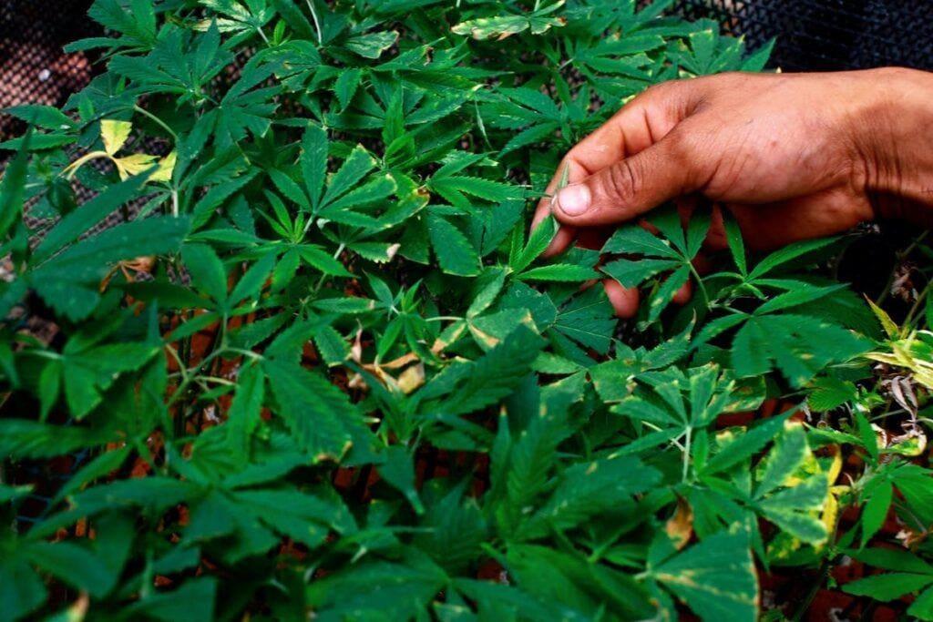 种植大麻教学之诊断大麻常见叶斑病、白粉病、根腐病