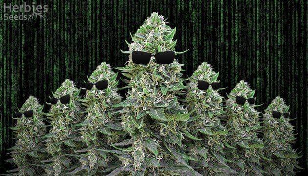 克隆大麻——从零单种(24)
