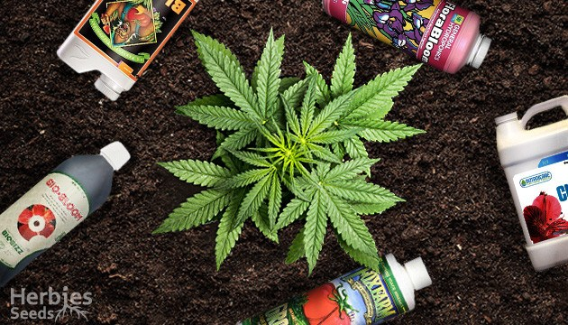 适合大麻的肥料——从零单种(27)