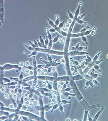 大麻上的细菌和真菌——从零单种(28)