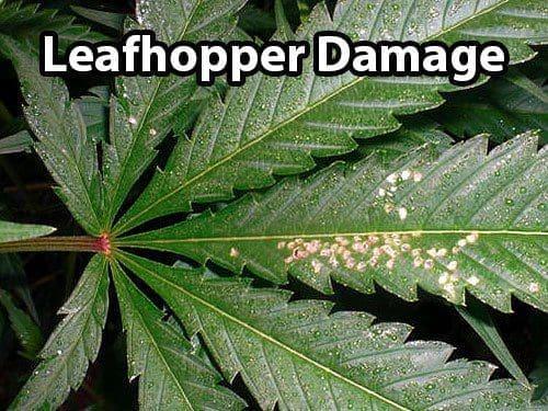 大麻病虫害:叶蝉——从零单种(40)