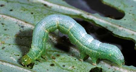 毛毛蟲和菜青蟲——從零單種(33)