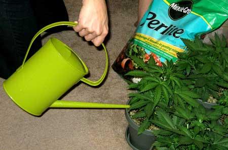 种植大麻过度浇水——从零单种(46)