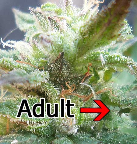 大麻杀手蚜虫——从零单种29