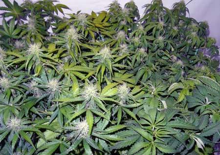 最常犯的种植错误,大麻的光灼烧——从零单种(48)