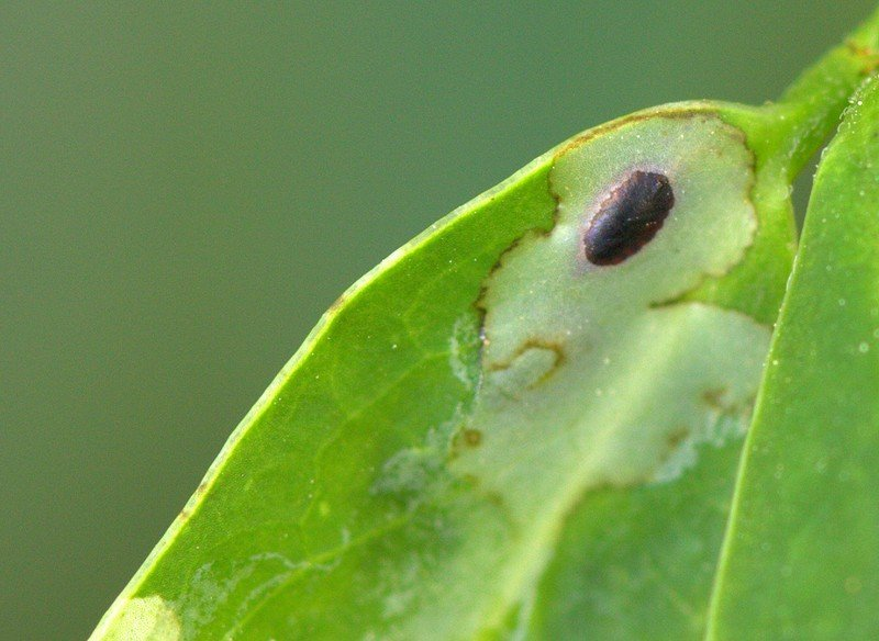 大麻病虫害:潜叶虫——从零单种(40)