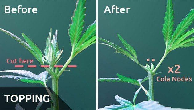 室内种植大麻的有效增产手段(下)——从零单种(24)