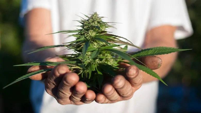 當我剛開始種大麻的時候,最希望別人告訴我的9件事情——從零單種(49)