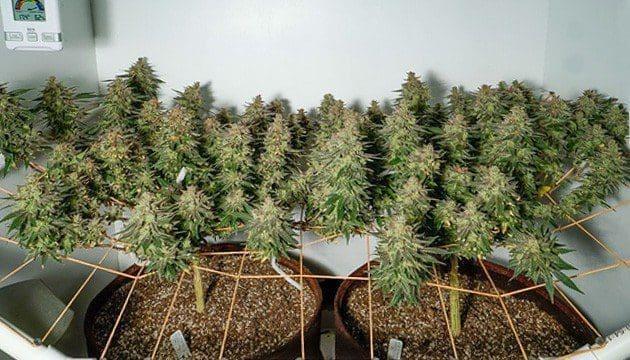 室内种植大麻的必要设施和工具(上)——从零单种(13)