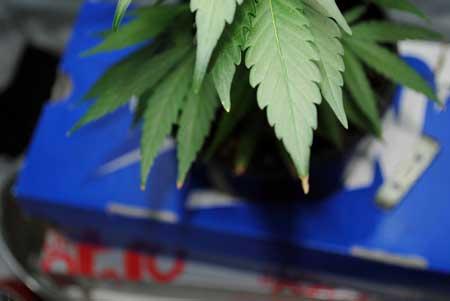 大麻的营养灼烧——从零单种(47)