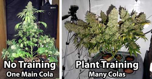 修剪大麻中的常見錯誤——從零單種(50)