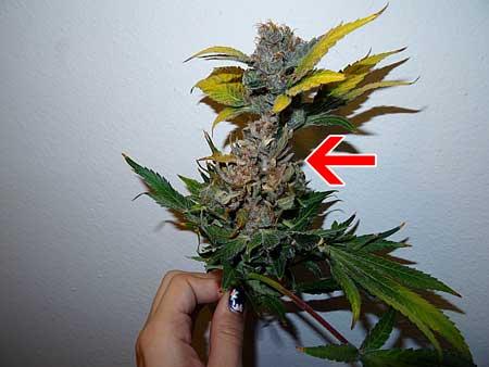 大麻芽的腐烂发霉——从零单种(33)