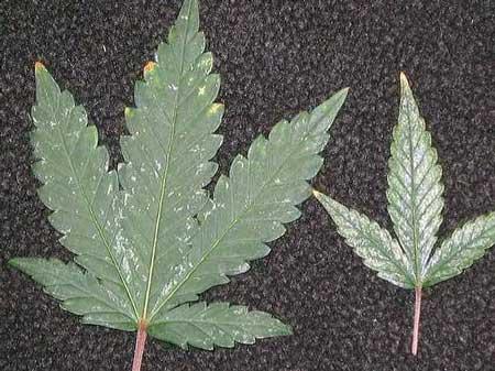 大麻的病虫害,蓟[jì]马——从零单种(46)