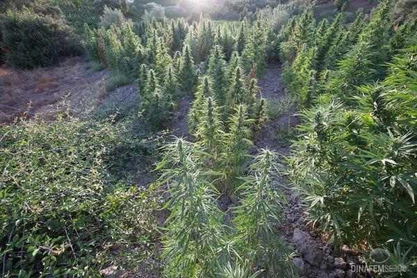 大麻种植中的安全细节——从零单种(12)