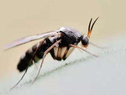 传播腐烂的细小蚊虫,蕈( xùn )蚊——从零单种(37)