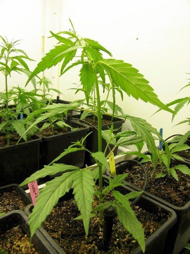 大麻的植物结构和生长阶段——从零单种(12)