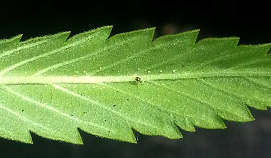 蜘蛛螨,最常见的大麻害虫——丛零单种(44)