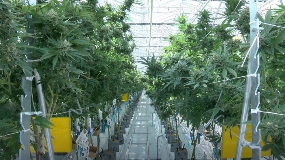 选择大麻种植方式以及对应的品种——从零单种(6)