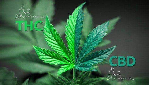怎么挑选称心如意的大麻种子——从零单种(51)