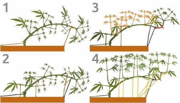 室内种植大麻的有效增产手段(上)——从零单种(22)