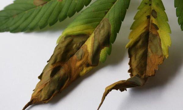 叶斑病,大麻的败血症——从零单种(41)