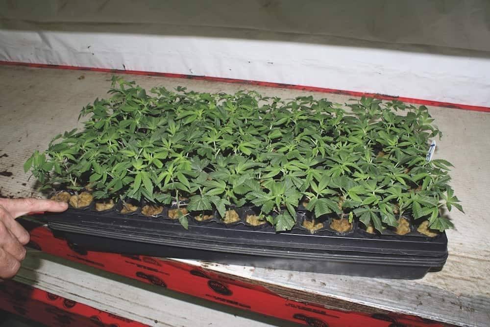 大麻种植技术之克隆大麻