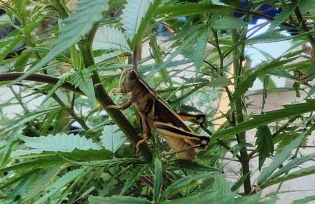 大麻病虫害:蝗灾——从零单种(39)