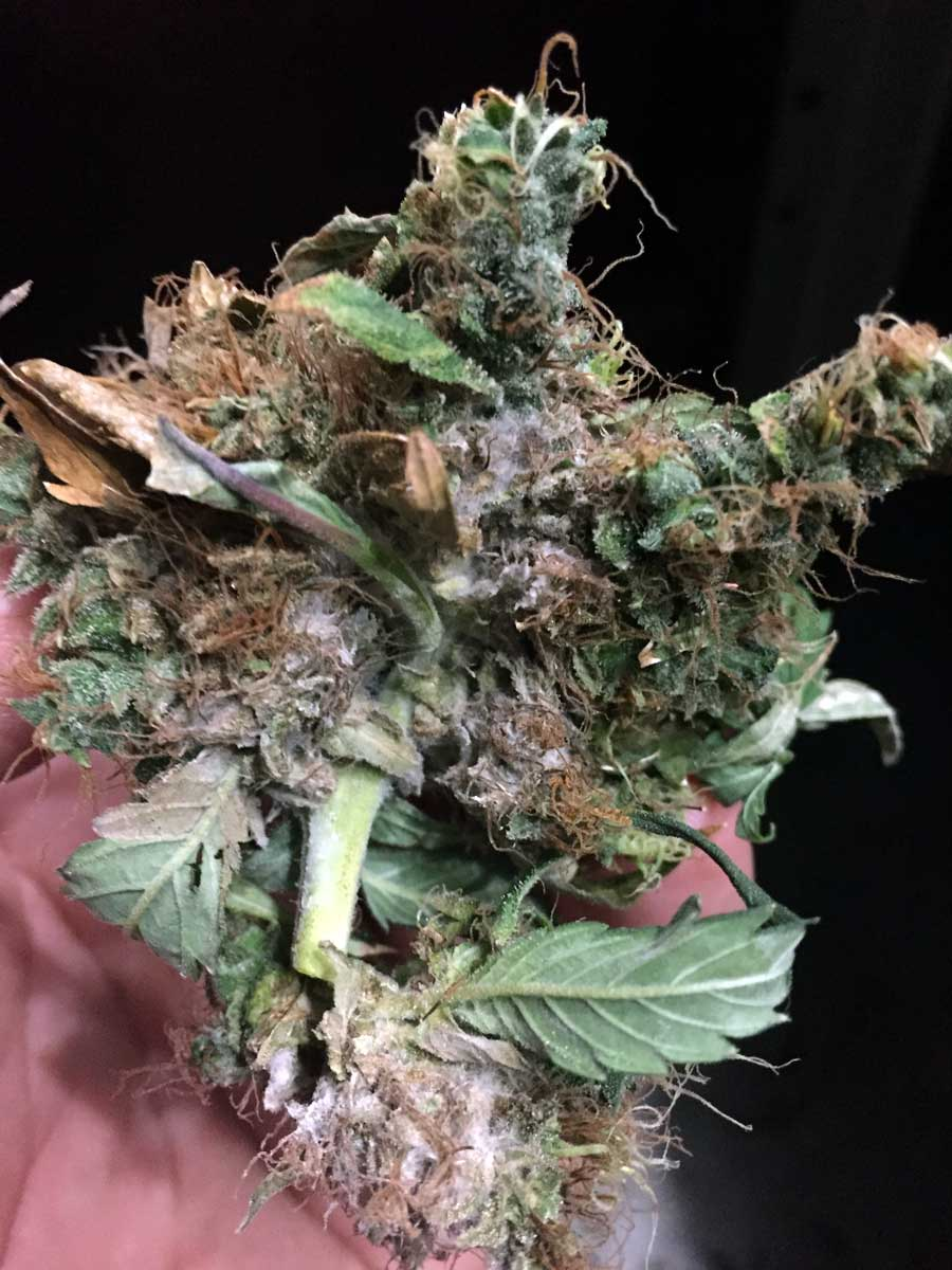 抽最好的大麻-大麻品质鉴别