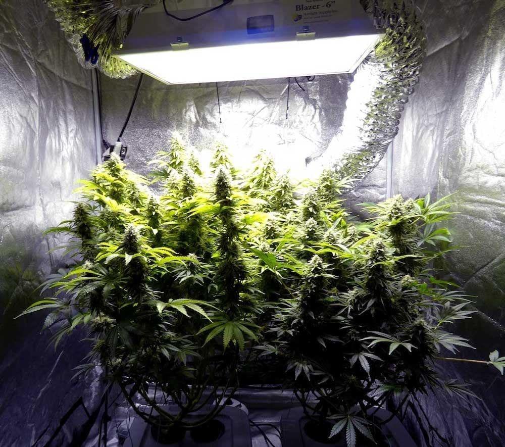 大麻种植之新手农夫室内种植入门指南