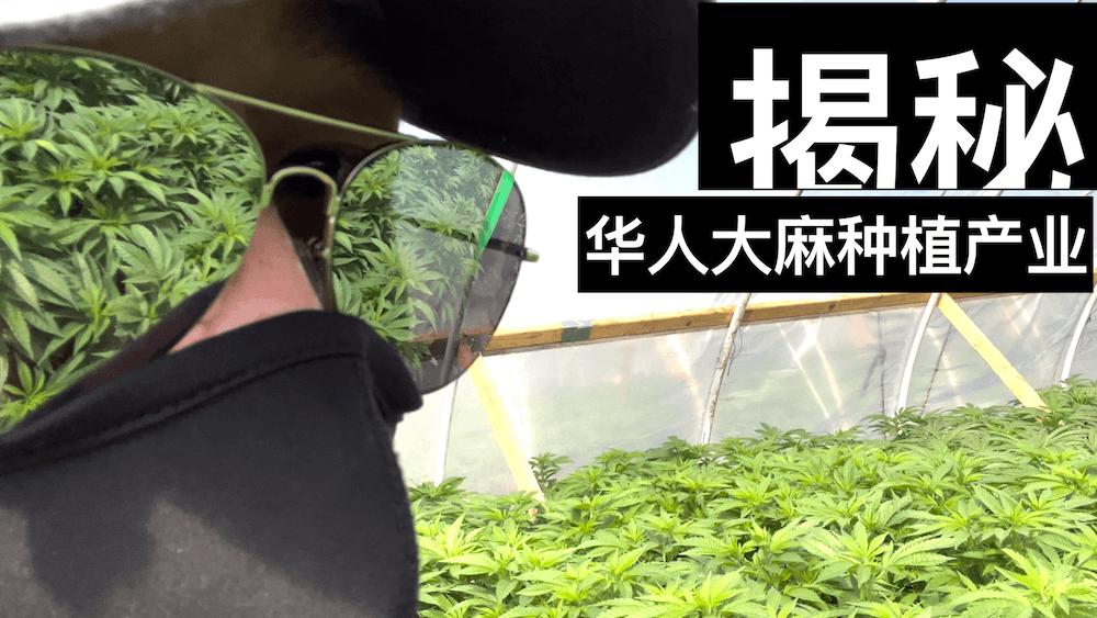 【揭秘】华人大棚种大麻的天灾与人祸